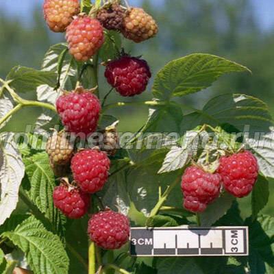 1 при покупке саженцев малинового дерева следует обратиться в специальные магазины или в садоводческие питомники